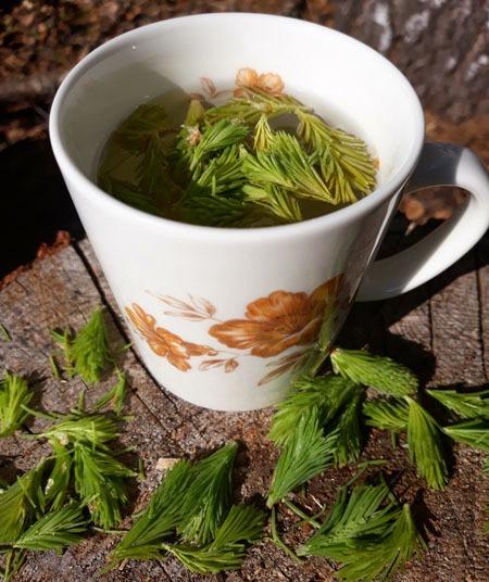 Kevään pienet vitamiinipommit – kuusenkerkät