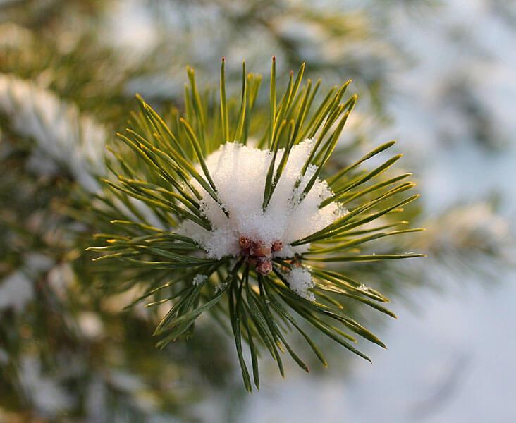 Havupuut talvella hengitysteiden tukena